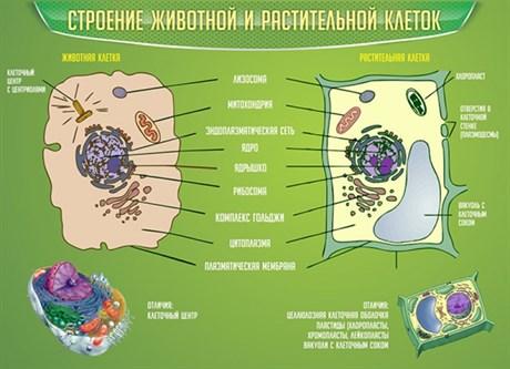 Стенд Строение животной и растительной клеток - фото 58888
