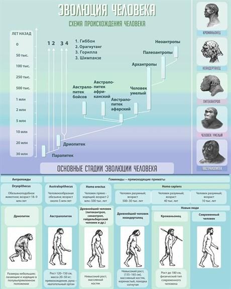 Стенд Эволюция человека - фото 58890