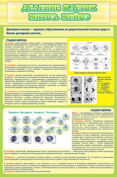 Стенд Деление клеток митоз, мейоз - фото 58901