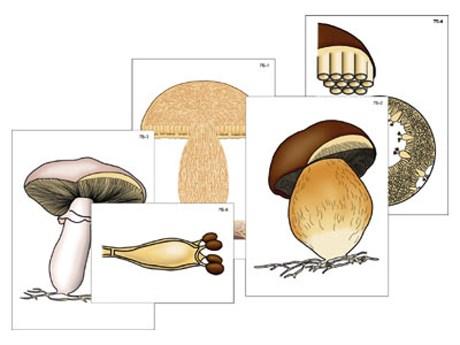 """Модель-аппликация """"Размножение шляпочного гриба"""" - фото 58929"""