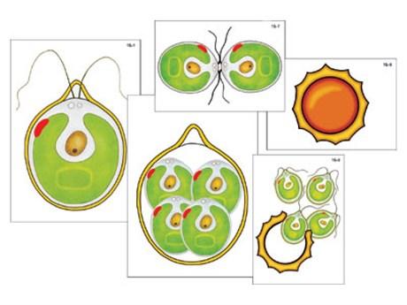 """Модель-аппликация """"Размножение одноклеточной водоросли"""" - фото 58932"""