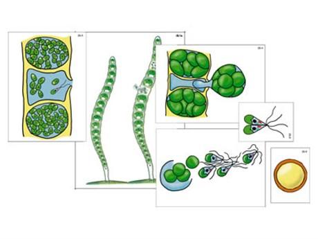 """Модель-аппликация """"Размножение многоклеточной водоросли"""" - фото 58934"""