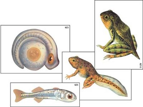"""Модель-аппликация """"Развитие костной рыбы и лягушки"""" - фото 58937"""