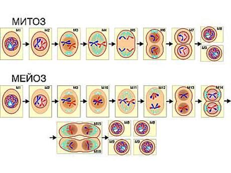 """Модель-аппликация """"Деление клетки. Митоз и мейоз"""" - фото 58944"""