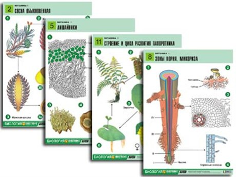 "Комплект таблиц по биологии дем. ""Ботаника 1"" (12 табл., формат А1, лам.) - фото 58948"