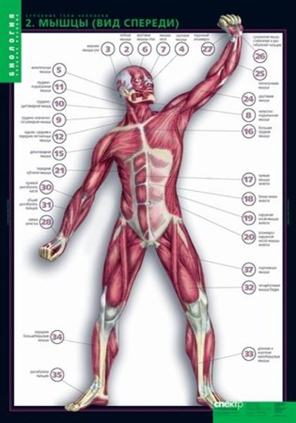 Комплект таблиц. Биология. Строение тела человека (10 таблиц + 80 карточек) - фото 58962