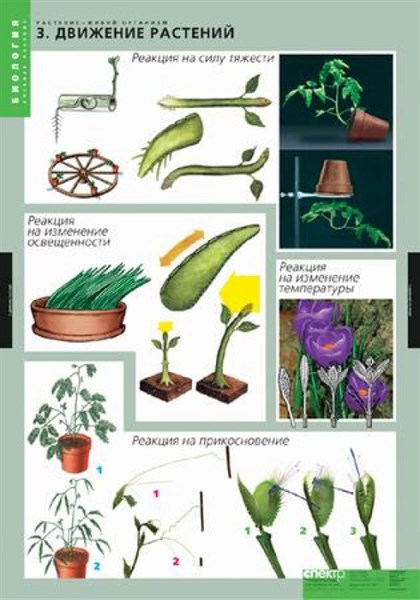 Комплект таблиц. Биология. Растение - живой организм (4 таблицы) - фото 58964