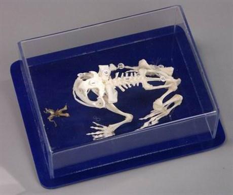 Скелет лягушки - фото 59005