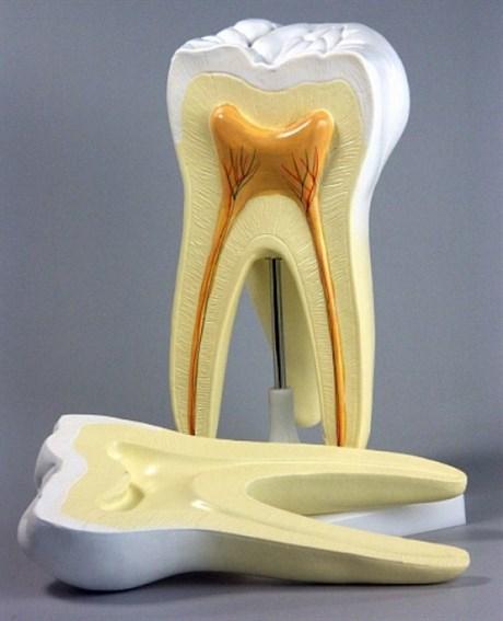 """Модель """"Строение зуба"""" - фото 59031"""