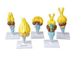 Комплект моделей строения мозга позвоночных (5 шт)