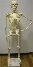 Модель скелета человека 85 см