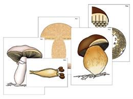 """Модель-аппликация """"Размножение шляпочного гриба"""""""