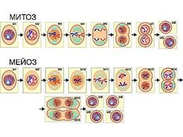 """Модель-аппликация """"Деление клетки. Митоз и мейоз"""""""
