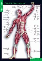 Комплект таблиц. Биология. Строение тела человека (10 таблиц + 80 карточек)