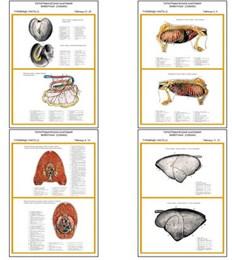 "Плакаты ПРОФТЕХ ""Топограф. анатомия. Собака. Туловище"""