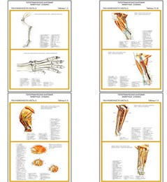 """Плакаты ПРОФТЕХ """"Топограф. анатомия. Собака. Таз и конечности"""""""