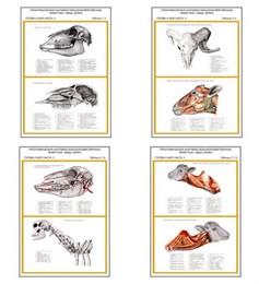 """Плакаты ПРОФТЕХ """"Топограф. анатомия. Овца, баран. Голова и шея"""""""