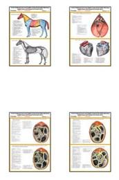 """Плакаты ПРОФТЕХ """"Топограф. анатомия. Лошадь. Туловище"""""""