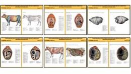 """Плакаты ПРОФТЕХ """"Топограф. анатомия. Крупного рогатого скота. Туловище"""""""