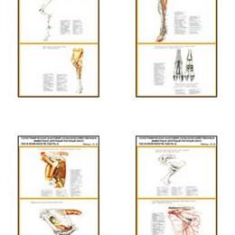 """Плакаты ПРОФТЕХ """"Топограф. анатомия. Крупного рогатого скота. Таз и конечность"""""""